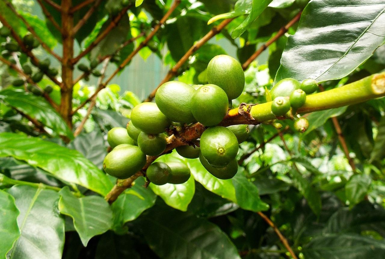 """variété de café arabica """"width ="""" 1280 """"height ="""" 863 """"/> </p> <p> L'organisation à but non lucratif World Coffee Research a annoncé qu'elle a collaboré avec NSF International, l'agence internationale de certification et de certification spécialisée dans la santé publique dans les biens de consommation, pour certifier les producteurs de pépites et les pépinières. </p> <p> Bien que de nombreux tiers Des certifications existent pour le café rôti pour aider les consommateurs à parcourir le nombre presque infini d'offres, la WCR affirme que jusqu'à présent, aucune norme globale de tiers n'existait pour les agriculteurs pour s'assurer que les usines de café qu'ils achètent sont à la fois saines et génétiquement pures comme annoncé. </p> <p> La WCR a commencé à travailler sur le programme, appelé WCR Verified, en 2015, en recrutant NSF International plus tôt cette année. Grâce au programme, NSF International vérifiera et certifiera les vendeurs de les graines de café basées sur un protocole qui couvre: les normes de soins infirmiers pour l'élevage de plantes saines et exemptes de maladies; pureté génétique à l'aide de l'empreinte d'ADN; éducation pour les agriculteurs concernant la performance agronomique pour des décisions d'achat plus éclairées; et un crédit approprié aux éleveurs. </p> <p> «En mettant en œuvre et en travaillant avec les protocoles techniques vérifiés par la WCR, les producteurs de fermes de semences et de pépinières pourront maintenir des systèmes de gestion efficaces pour s'assurer que leur production possède une traçabilité et une pureté génétique robustes», a déclaré le WCR lors d'une annonce du programme lancer aujourd'hui. «Grâce à des rapports indépendants de vérification de tiers, le producteur peut s'assurer que des points critiques sont abordés et favoriser une culture d'amélioration continue. Le processus est complété par une analyse de l'ADN et des audits de traçabilité pour s'assurer que la pureté génétique est maintenue. »</p> <p> La WCR m"""