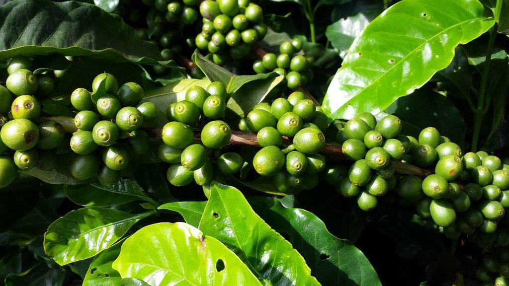 caféier et grains de café