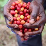Sur une île du lac Kivu, en RDC, le café commence à porter ses fruits économiques. Daily Coffee News par Roast Magazine