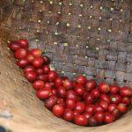 L'extraction contient au moins 51 pour cent de l'extractionDay Coffee News par Roast Magazine