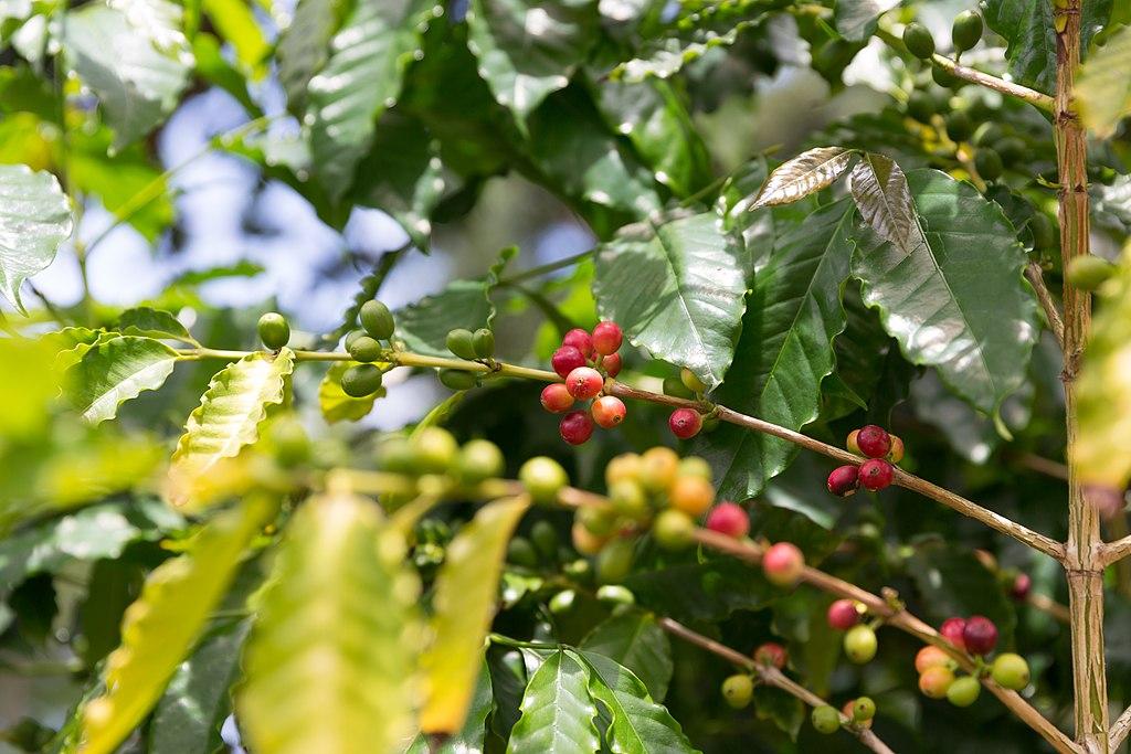 Kona-Coffee.jpg