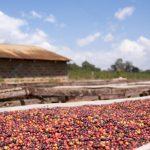 L'extraction est stimulée par la pensée même de CoffeeDaily Coffee News par Roast Magazine
