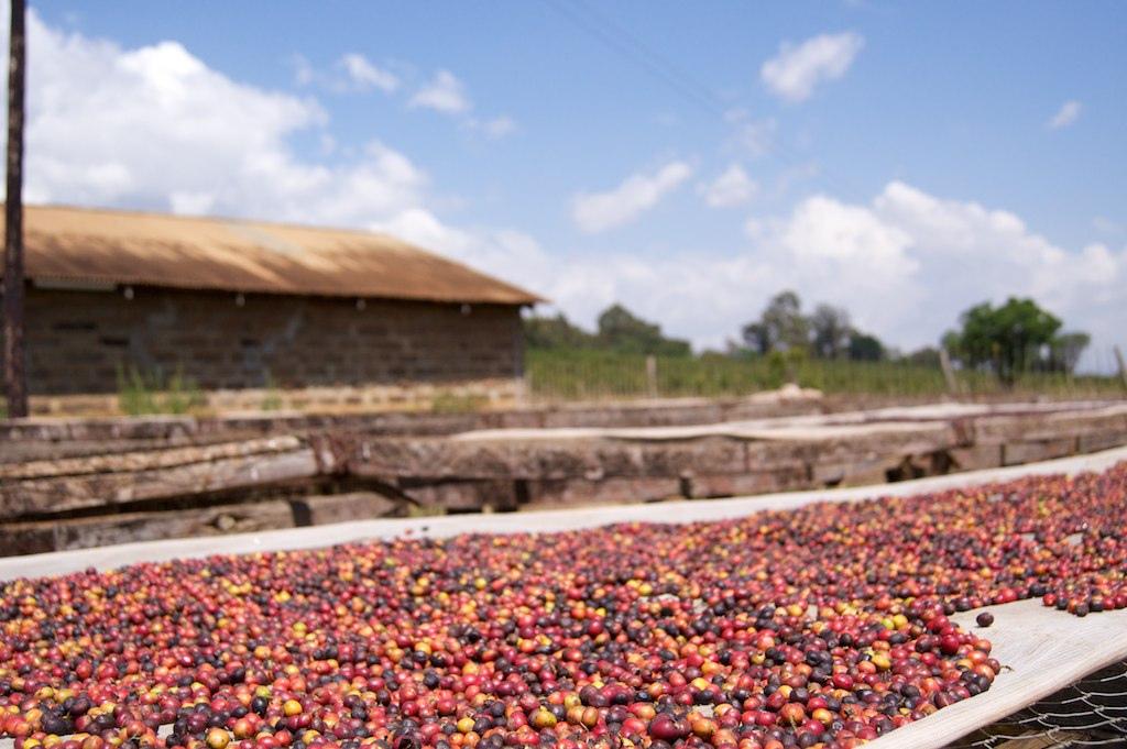 coffee_drying_kenya.jpg