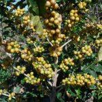 L'histoire fascinante et le renouveau du café jaune BourbonDaily au Brésil, par Roast Magazine