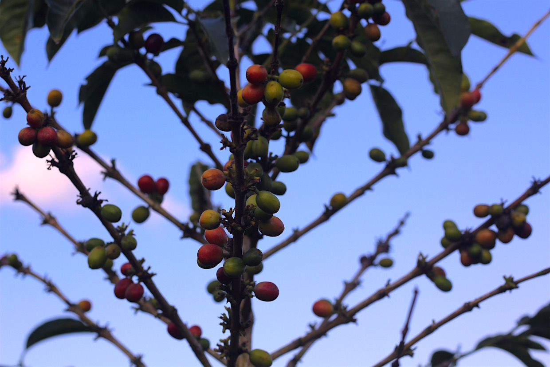 coffee-plant-at-dusk.jpg