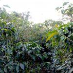 Les tests génétiques révèlent la vraie nature des variétés de caféDaily Coffee News by Capsules Café