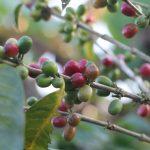 Formes de café, transparence régionale et intermédiairesDaily Coffee News by Capsules Café