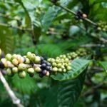 Le café Robusta n'est pas aussi robuste contre la hausse des températures, selon une étudeDaily Coffee News by Capsules Café