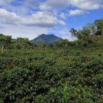 Le Guatemala sur le point de quitter l'Accord international sur le café - Daily Coffee News by Capsules Café